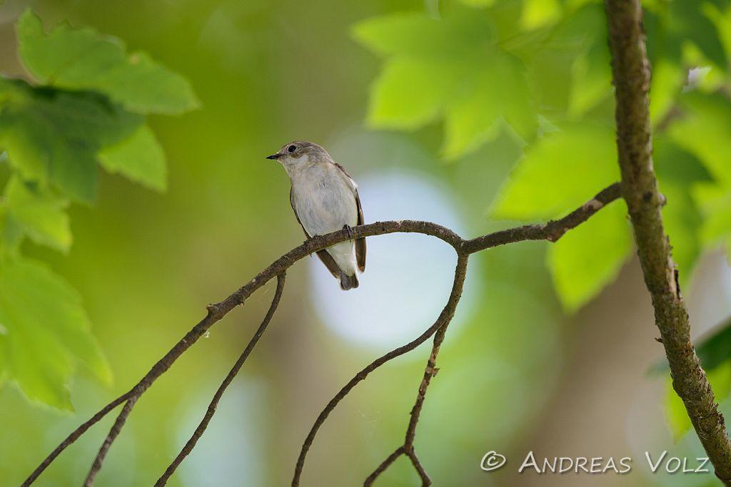 Halsbandschnäpper / Collared Flycatcher / Ficedula albicollis