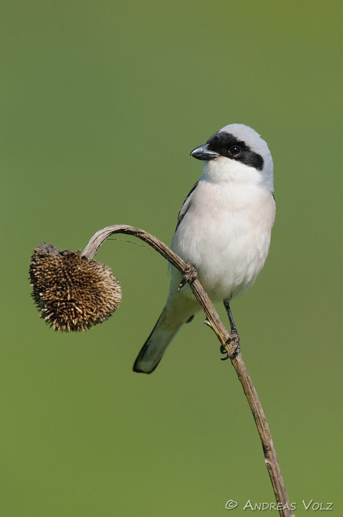 Schwarzstirnwürger / Lesser Grey Shrike /  Lanius minor