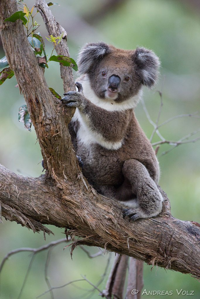 Koala / Phascolarctos cinereus
