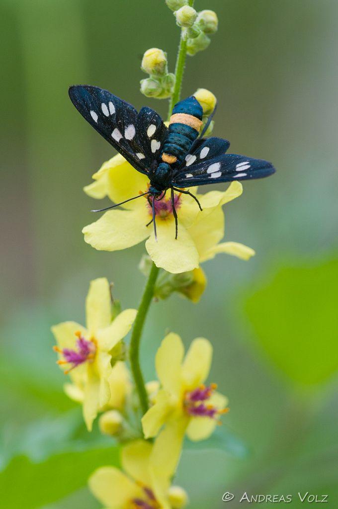 Weißfleck-Widderchen / Nine-spotted moth / Syntomis phegea