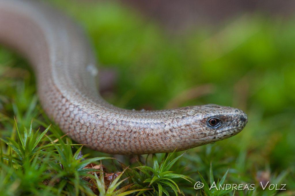Reptilien75.jpg