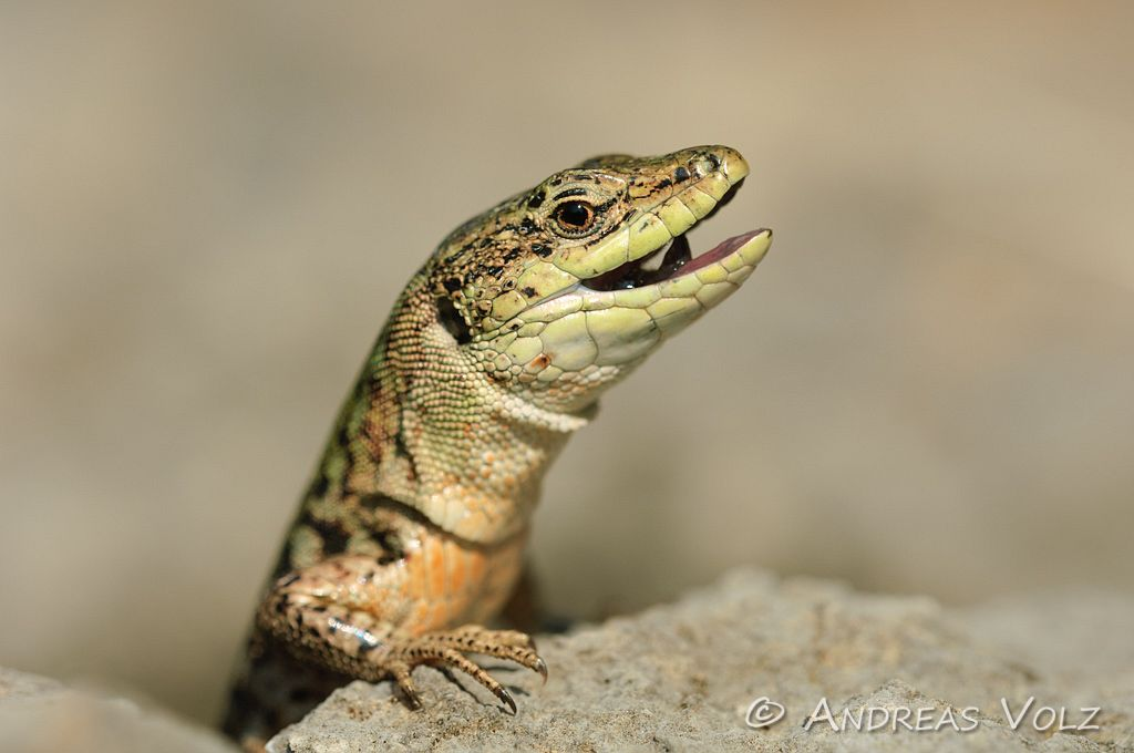 Reptilien92.jpg