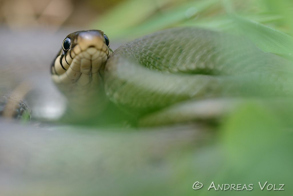 Reptilien114.jpg