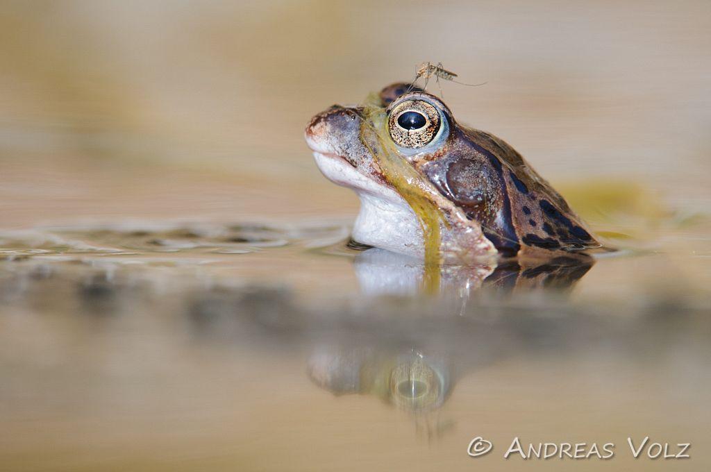 Amphibien55.jpg