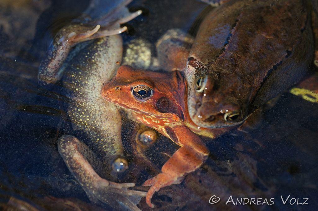 Amphibien73.jpg
