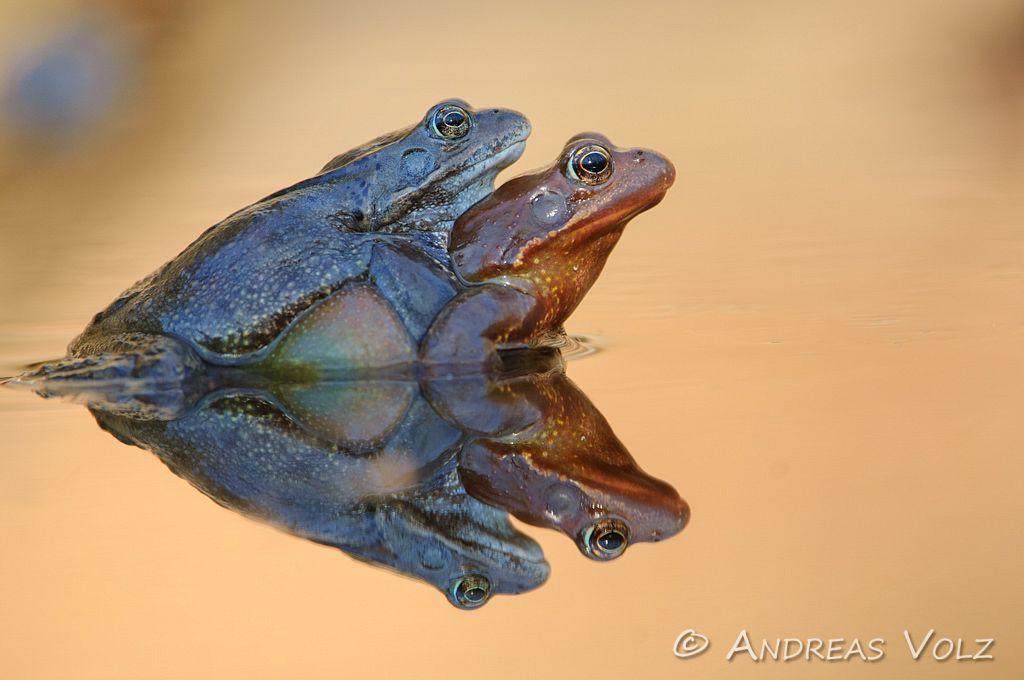 Amphibien68.jpg