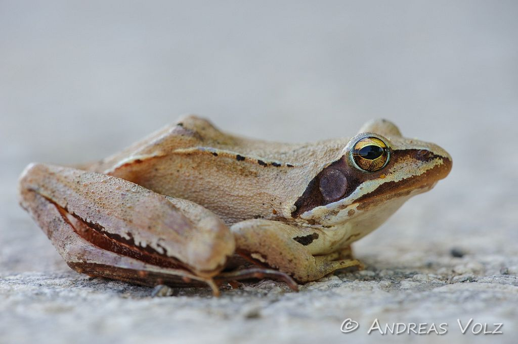 Amphibien61.jpg