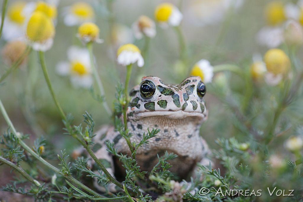 Amphibien37.jpg