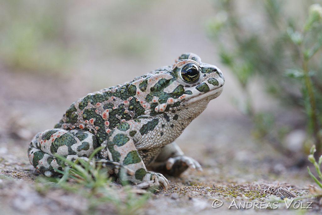 Amphibien34.jpg