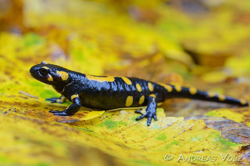 Amphibien108.jpg