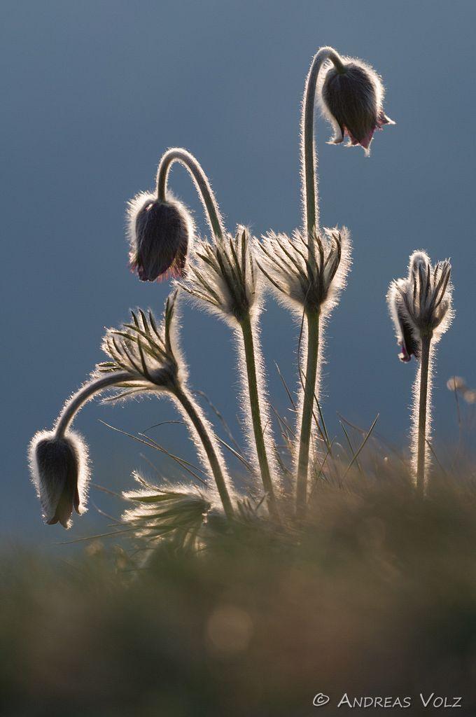 Berg-Küchenschelle / Mountain Pasque Flower / Pulsatilla montana