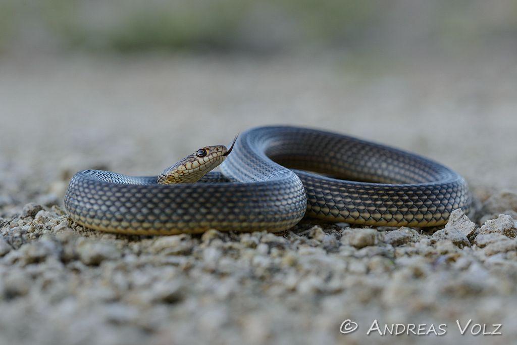 Reptilien129.jpg