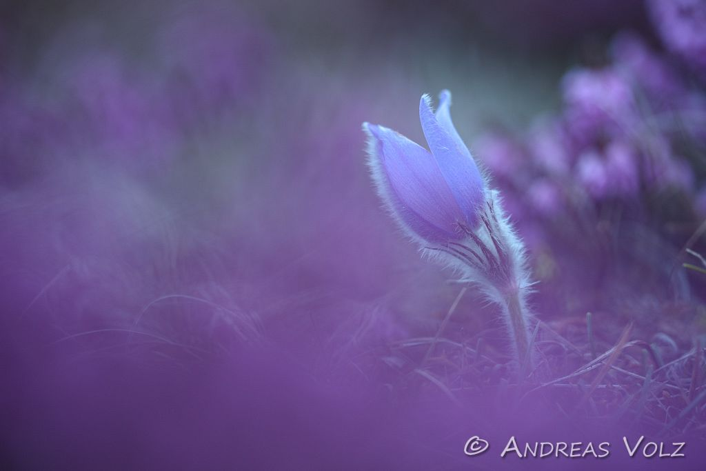 Gewöhnliche Kuhschelle / Common Pasque Flower / Pulsatilla vulgaris