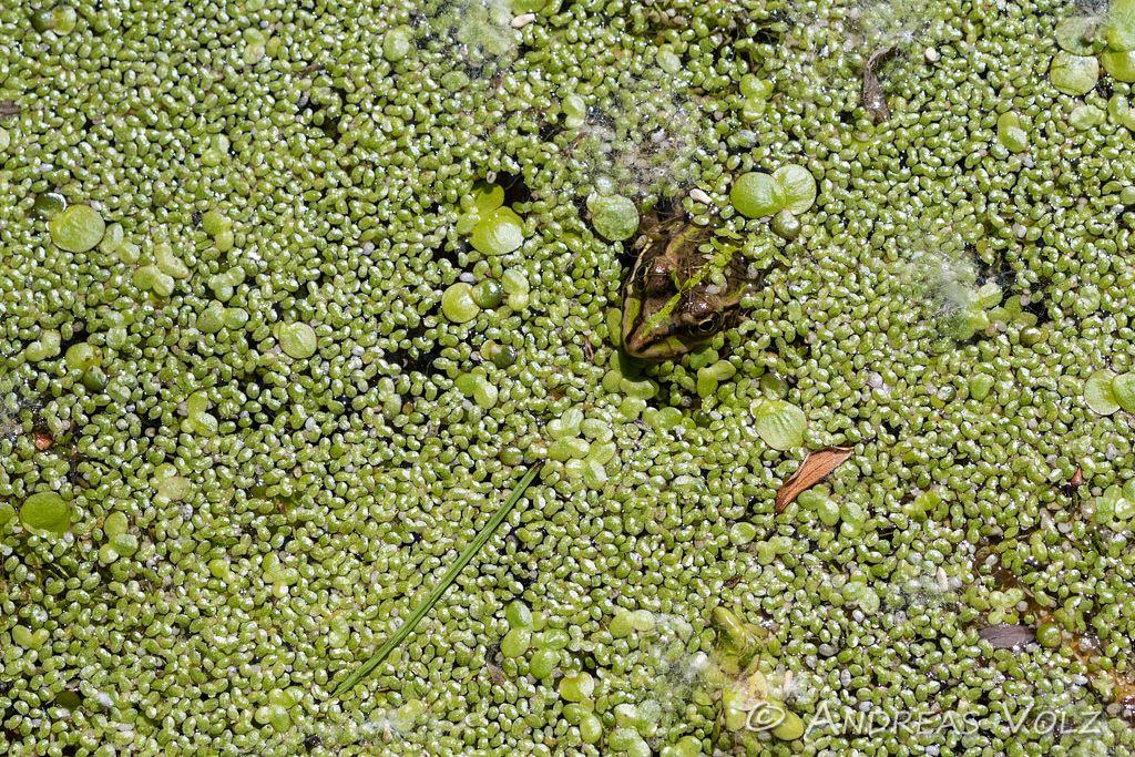 Amphibien147.jpg