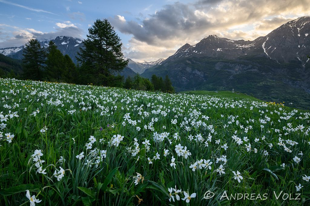 Weiße Narzisse / Poet's Narcissus / Narcissus poeticus