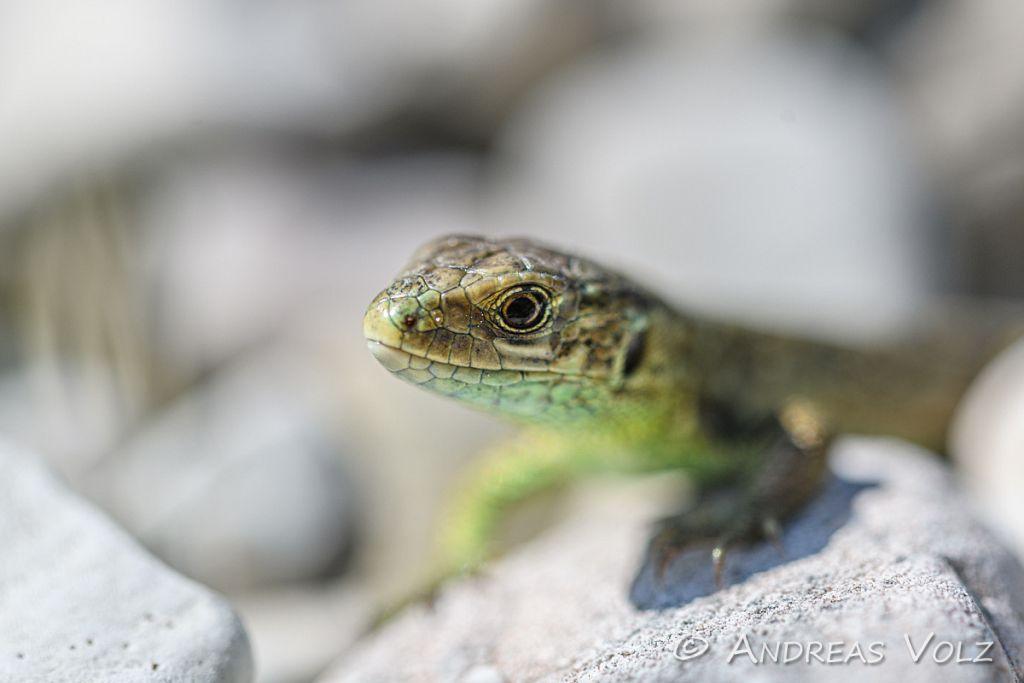 Reptilien232.jpg