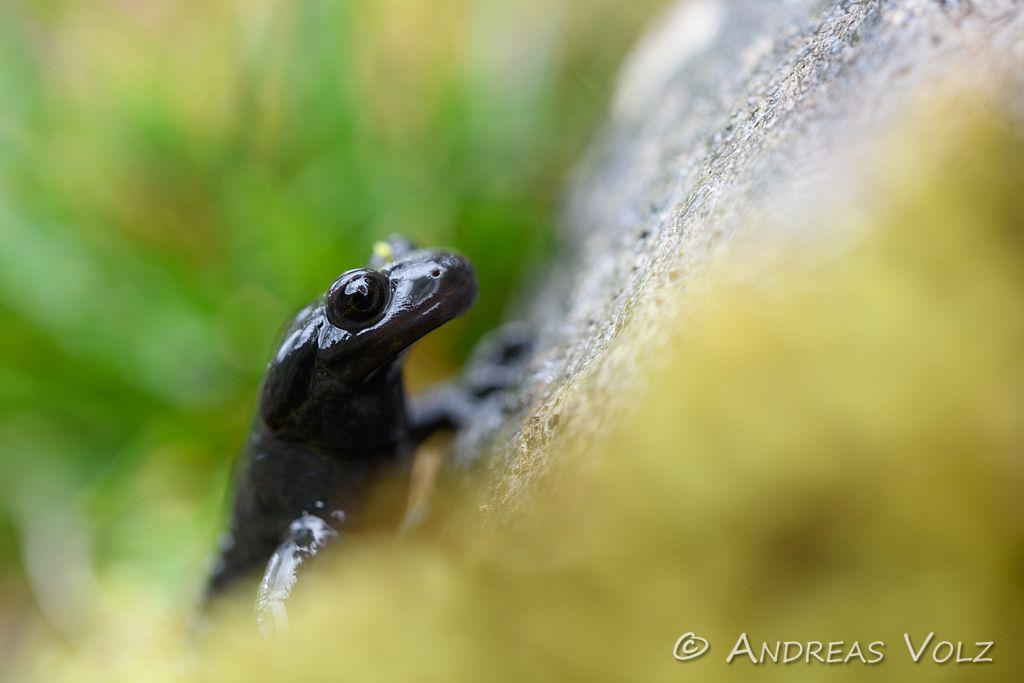 Amphibien177.jpg