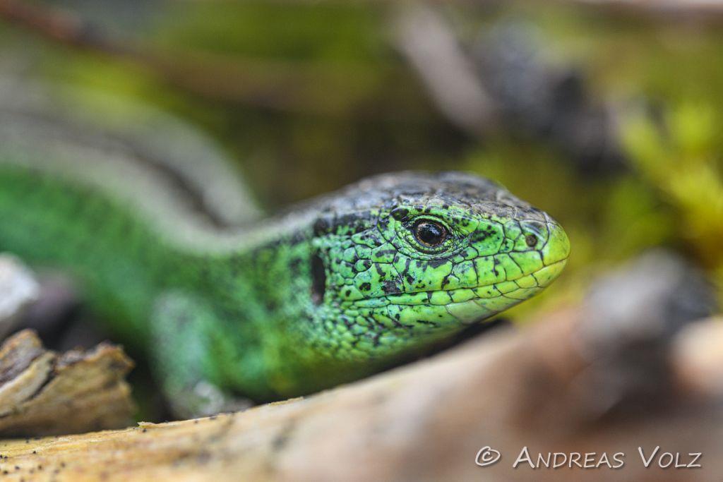 Reptilien273.jpg