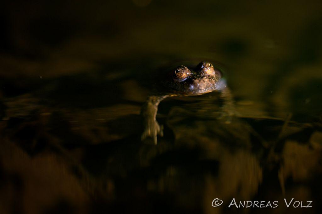 Amphibien201.jpg
