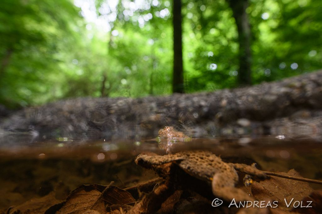 Amphibien202.jpg