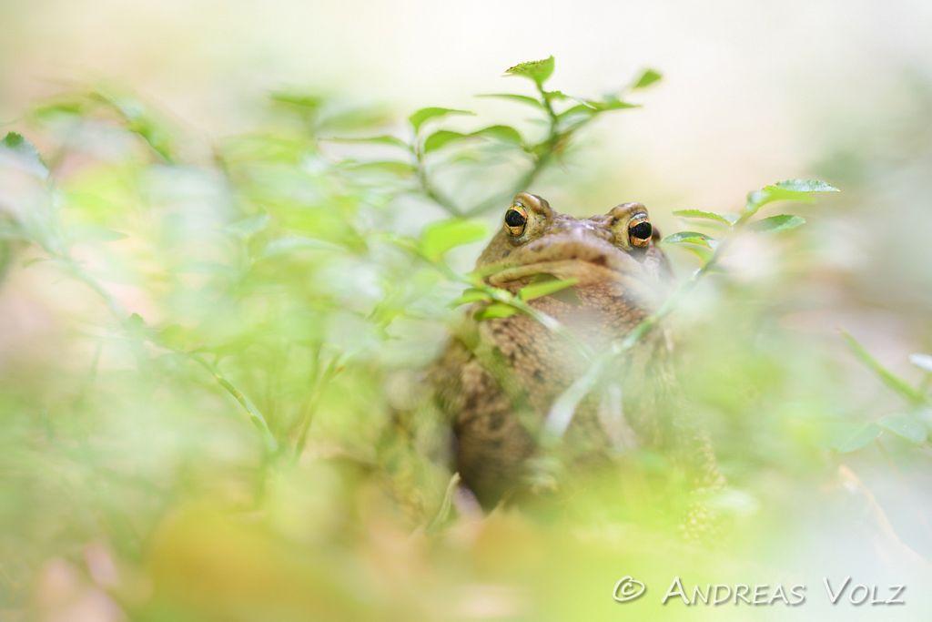 Amphibien207.jpg