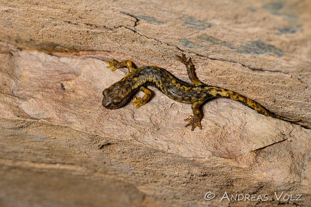 Ambrosis Höhlensalamander / Ambrosi's cave salamander / Hydromantes ambrosii, Syn.: Speleomantes ambrosii