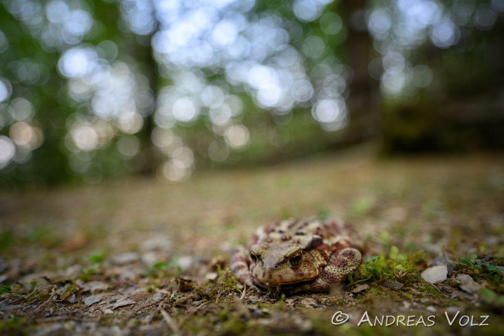 Amphibien239.jpg