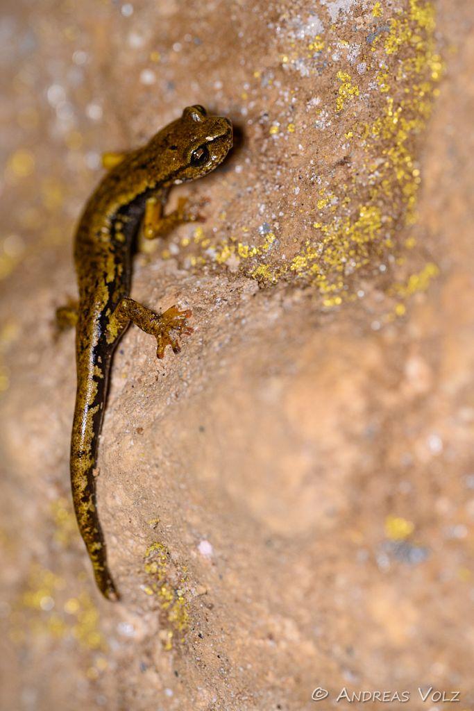 Ambrosis Höhlensalamander / Ambrosi's cave salamander / Hydroma