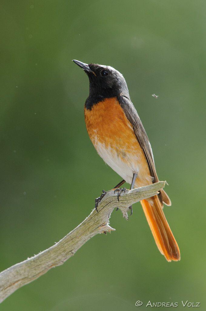 Gartenrotschwanz / Common Redstart male / Phoenicurus phoenicurus