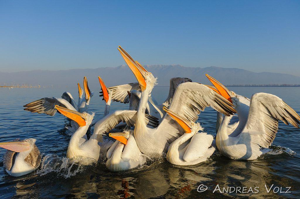 Pelikane in Nord-Griechenland