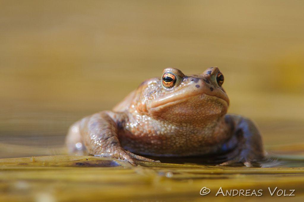 Amphibien59.jpg