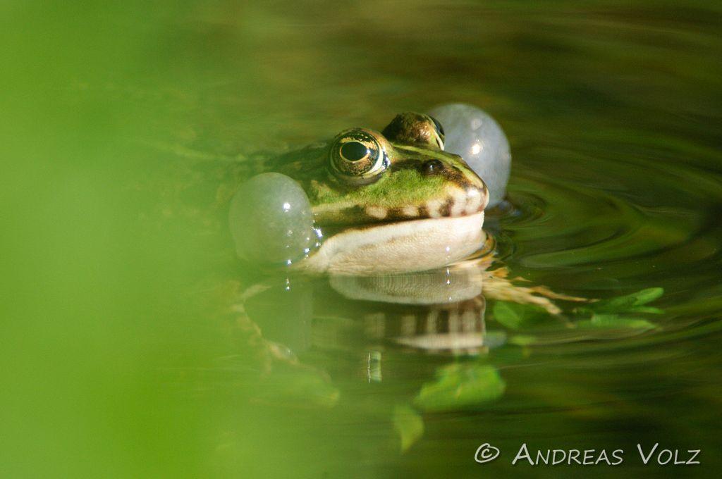 Amphibien24.jpg