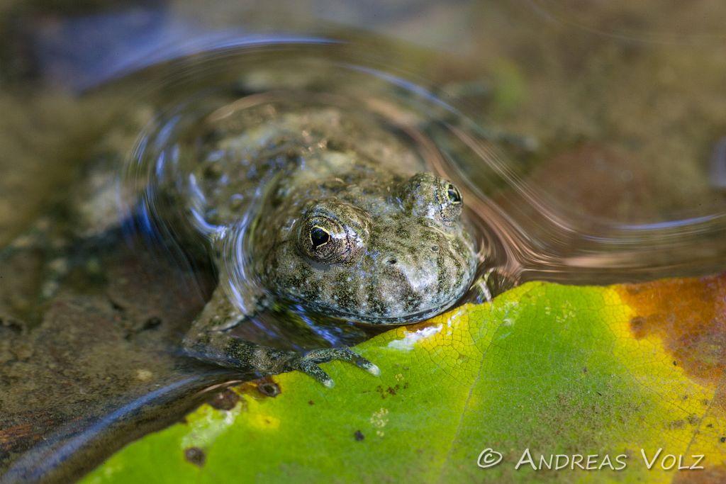 Amphibien12.jpg