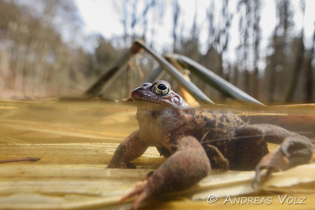 Amphibien143.jpg