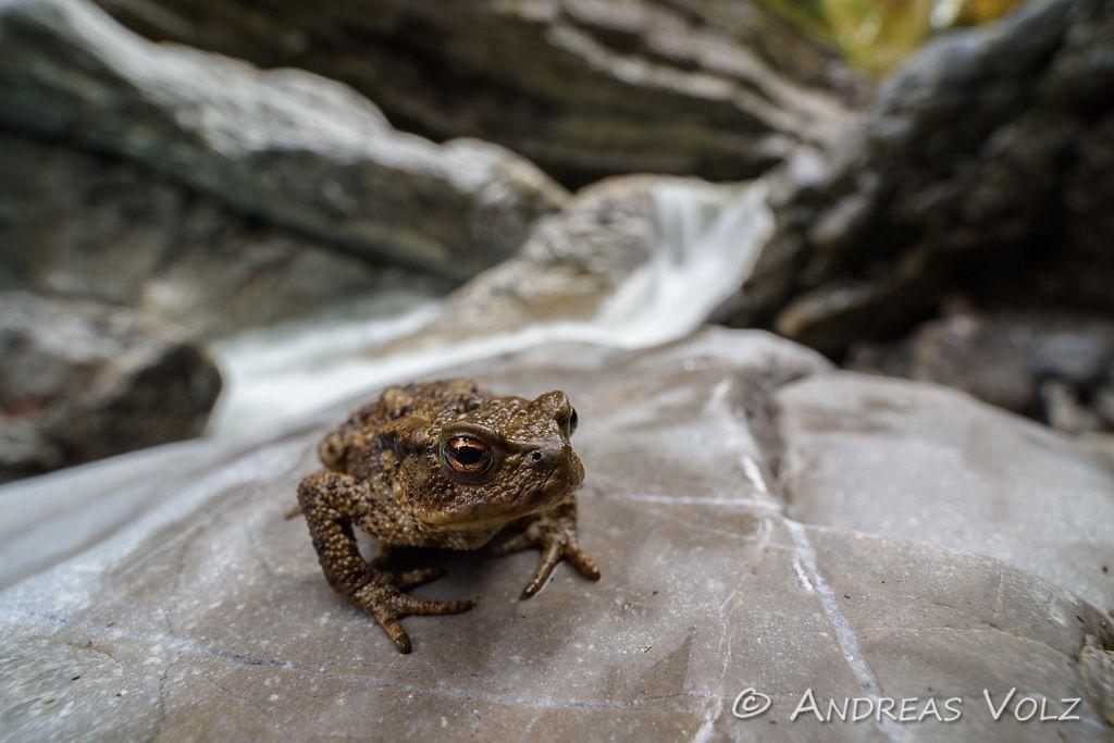 Amphibien151.jpg
