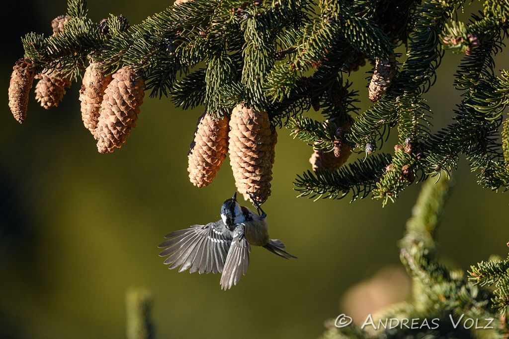 Tannenmeise / Coal Tit / Periparus ater, Syn. Parus ater