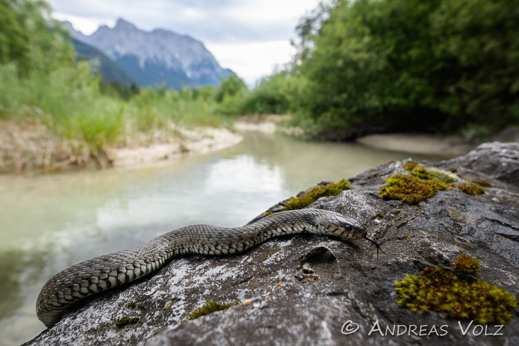 Alpen-Barrenringelnatter / Barred grass snake / Natrix helvetica