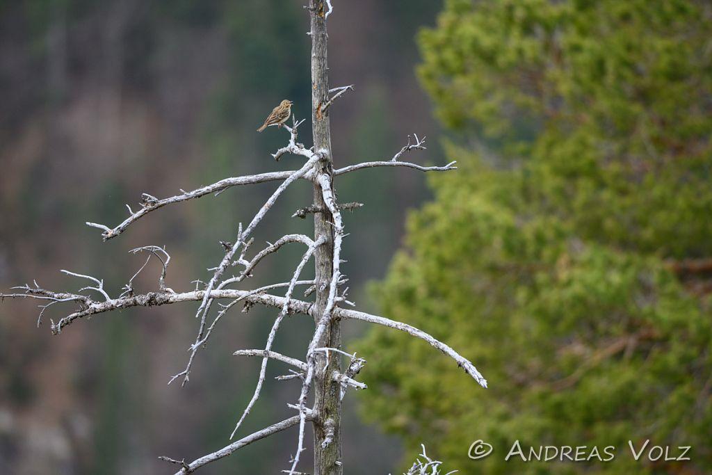 Sonstige Singvögel
